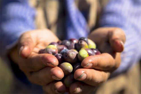 Olivenernte in Palästina 2021, Foto: EAPPI